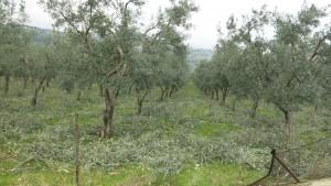 Olivenbaume beschneiden