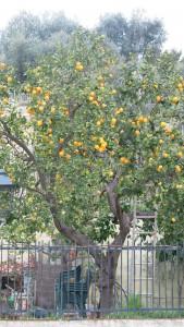 Zitronenbaume