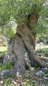 Pag Oliven 2