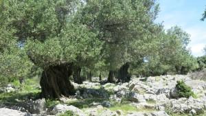 Pag Oliven 3
